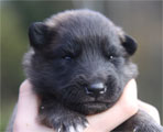 Male puppy 2 weeks / urospentu 2 viikkoa